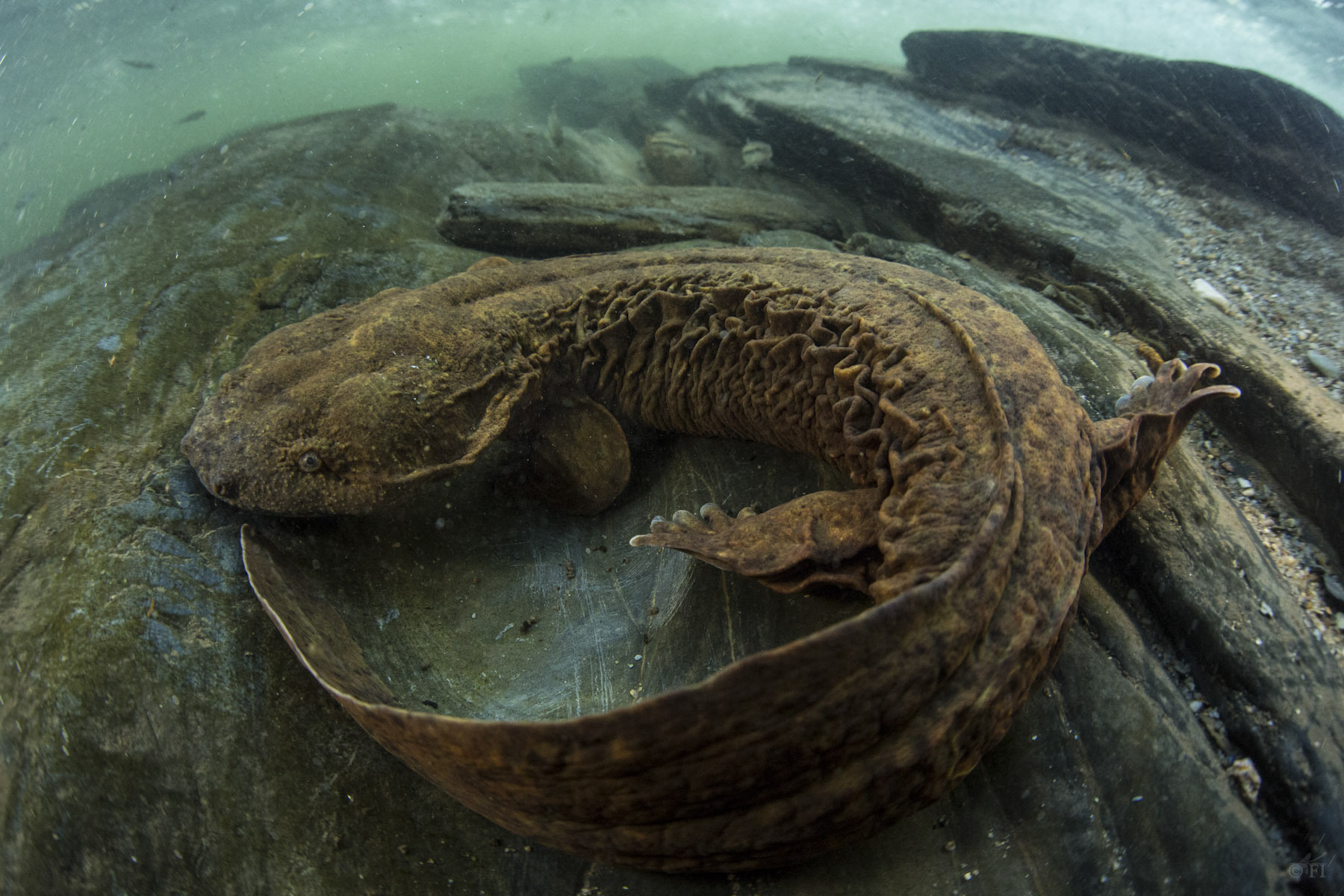 an overview of the eastern hellbender Summary 2 the hellbender ( cryptobranchus alleganiensis ), also known as the hellbender salamander , is a species of giant salamander endemic to eastern north america a member of the cryptobranchidae family, hellbenders are the only members of the cryptobranchus genus, and are joined only by one other genus of salamanders ( andrias , which.