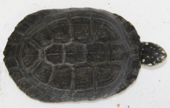 Black pond turtle (Geoclemys hamiltonii)