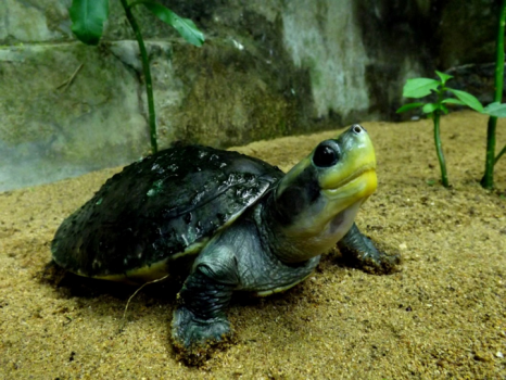 Red roofed river turtle (Batagur cachuga)